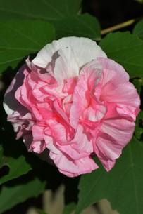 スイフヨウ / 朝白く 昼はピンクで 夕方真紅の赤ら顔…「酔芙蓉」の写真素材 [FYI01198831]
