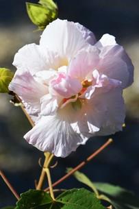 スイフヨウ / 朝白く 昼はピンクで 夕方真紅の赤ら顔…「酔芙蓉」の写真素材 [FYI01198832]