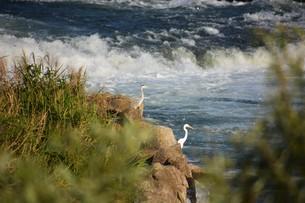 川辺のシラサギの写真素材 [FYI01198835]