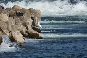 川辺のシラサギの写真素材 [FYI01198837]