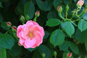 密やかに咲いた一輪のバラの写真素材 [FYI01198897]