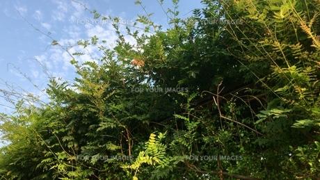 夏の空と緑の写真素材 [FYI01199160]