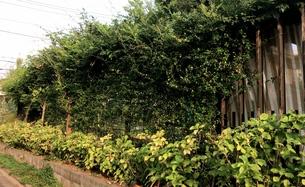 緑の生け垣の写真素材 [FYI01199161]