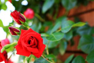 鮮やかに咲いた赤いバラの写真素材 [FYI01199295]