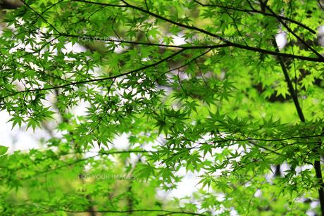 楓の葉が生い茂る新緑のテクスチャの写真素材 [FYI01199490]