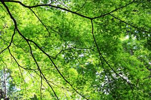 天蓋のように覆われた新緑のテクスチャの写真素材 [FYI01199491]