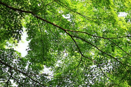 天蓋のように覆われた新緑のテクスチャの写真素材 [FYI01199492]