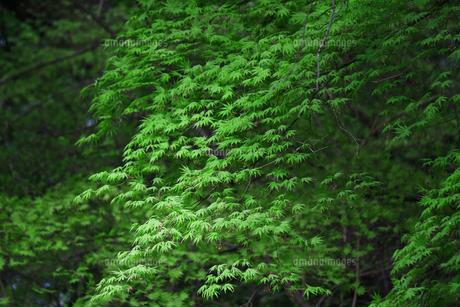 新緑の楓の葉のテクスチャの写真素材 [FYI01199495]