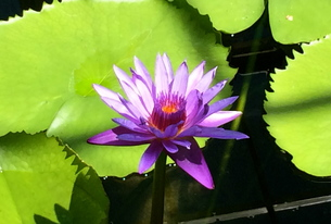 water lily 睡蓮の写真素材 [FYI01199530]