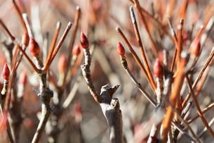 春の兆し・ドウダンツツジの芽吹きの写真素材 [FYI01199554]