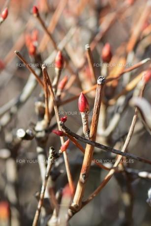 春の兆し・ドウダンツツジの芽吹きの写真素材 [FYI01199555]
