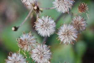 ツワブキ(石蕗)の綿毛の写真素材 [FYI01199563]