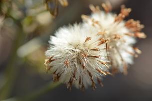 ツワブキ(石蕗)の綿毛の写真素材 [FYI01199567]