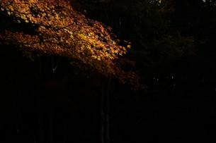 日本の風景・もみじの写真素材 [FYI01199568]