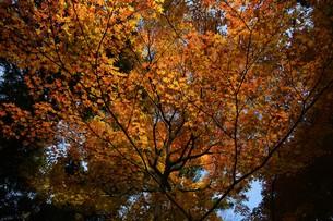 日本の風景・もみじの写真素材 [FYI01199569]