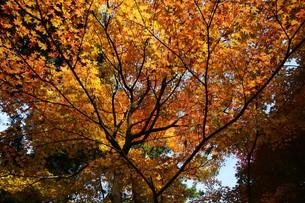 日本の風景・もみじの写真素材 [FYI01199570]