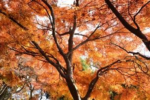 日本の風景・もみじの写真素材 [FYI01199572]