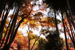 日本の風景・もみじの写真素材 [FYI01199573]
