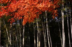 日本の風景・もみじの写真素材 [FYI01199574]