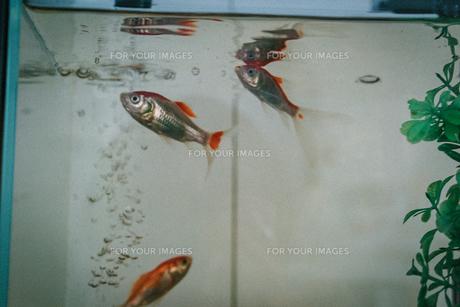 学校の水槽の金魚の写真素材 [FYI01199645]