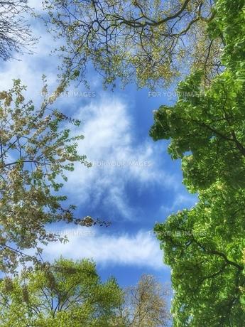 公園の木々の隙間から見上げた青空の写真素材 [FYI01199672]