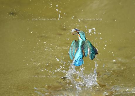 カワセミの捕食の写真素材 [FYI01199680]