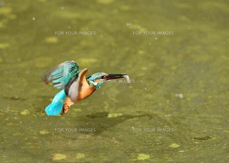 カワセミの捕食の写真素材 [FYI01199681]