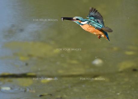 カワセミの捕食の写真素材 [FYI01199683]