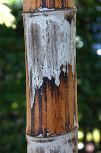 竹 クローズアップの写真素材 [FYI01199820]