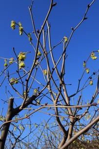 早春の花 ・ トサミズキ(土佐水木)の写真素材 [FYI01200025]