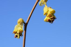 早春の花 ・ トサミズキ(土佐水木)の写真素材 [FYI01200028]