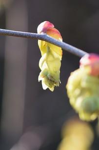 早春の花 ・ トサミズキ(土佐水木)の写真素材 [FYI01200042]