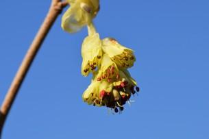 早春の花 ・ トサミズキ(土佐水木)の写真素材 [FYI01200044]