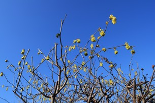 早春の花 ・ トサミズキ(土佐水木)の写真素材 [FYI01200045]