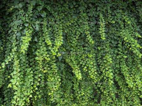 ツタの這う壁の写真素材 [FYI01200153]