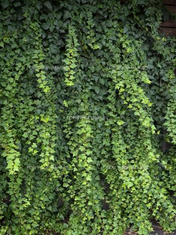 ツタの這う壁の写真素材 [FYI01200155]