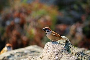 冬の暖かな日差しのあたる石の上に立つスズメの写真素材 [FYI01200303]