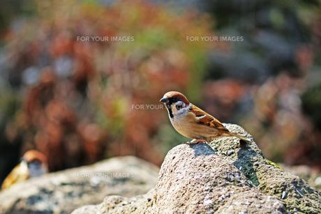 冬の暖かな日差しのあたる石の上に立つスズメの写真素材 [FYI01200304]