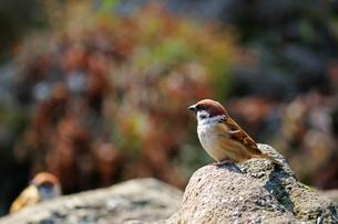 冬の暖かな日差しのあたる石の上に立つスズメの写真素材 [FYI01200305]