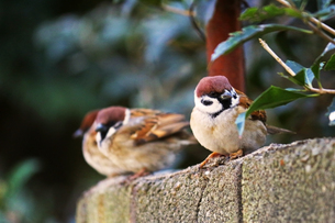 塀の上で休むスズメたちの写真素材 [FYI01200306]