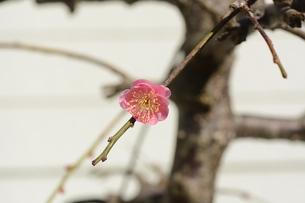 ウメの花 ・ 東風吹かば にほひおこせよ梅の花…の写真素材 [FYI01200411]