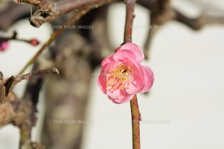 ウメの花 ・ 東風吹かば にほひおこせよ梅の花…の写真素材 [FYI01200412]