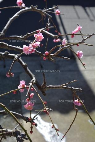 ウメの花 ・ 東風吹かば にほひおこせよ梅の花…の写真素材 [FYI01200413]
