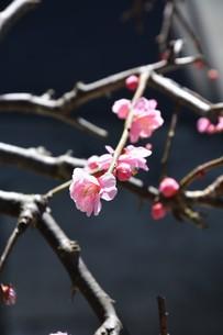 ウメの花 ・ 東風吹かば にほひおこせよ梅の花…の写真素材 [FYI01200414]