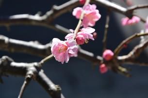 ウメの花 ・ 東風吹かば にほひおこせよ梅の花…の写真素材 [FYI01200415]