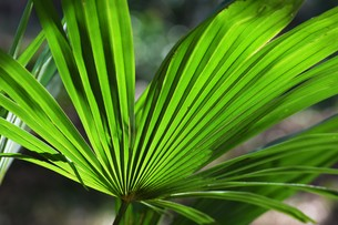 棕櫚の葉 ・ 色彩 デザイン 自然の妙の写真素材 [FYI01200420]