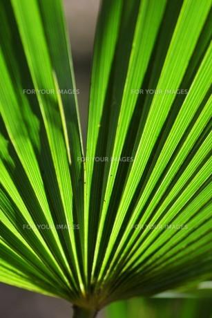 棕櫚の葉 ・ 色彩 デザイン 自然の妙の写真素材 [FYI01200421]