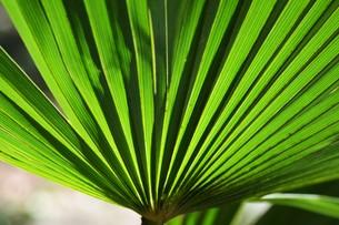 棕櫚の葉 ・ 色彩 デザイン 自然の妙の写真素材 [FYI01200422]