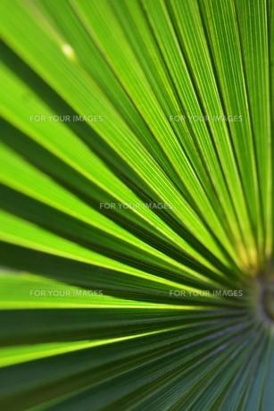 棕櫚の葉 ・ 色彩 デザイン 自然の妙の写真素材 [FYI01200424]