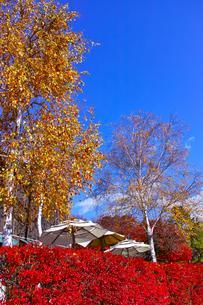 紅葉シーズンの河口湖町、日傘と紅葉の写真素材 [FYI01200439]